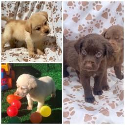 Título do anúncio: Lindos Labrador com pedigree e microchip