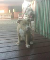 Linda pitbull fêmea 2 meses