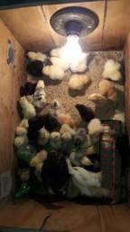 Pintinho de galinhas caipira