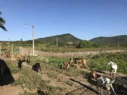 Criação cabras e bodes