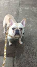 Bulldog Francês busca namorada