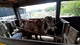 Vaca e Novinha Gir com Bezerra