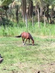 Cavalo mangalarga vendo ou troco