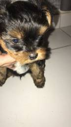 Vende filhote de yorkshire terrier