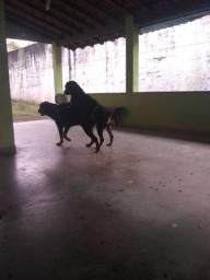 Filhotes de rottweiler americano