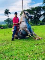 Cavalo lusitano adestrado!!