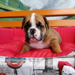 Título do anúncio: Filhote Bulldog Inglês