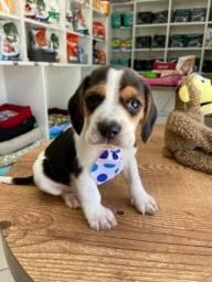Título do anúncio: Lindo filhote de beagle macho