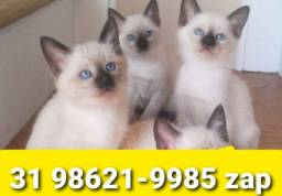 Título do anúncio: Gatil em BH Lindos Filhotes de Gatos Siamês Persa ou Angora
