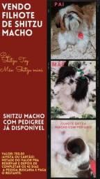 Título do anúncio: Filhote de Shitzu macho com pedigree