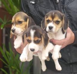 Título do anúncio: Qualidade E Procedência É Só Aqui Filhotes De Beagles Tricolor Chame Já Império Romano