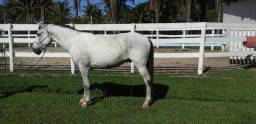 Título do anúncio: Vendo Cavalo Quarto de Milha Registrado