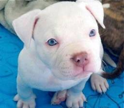 Título do anúncio: pitbull filhotes