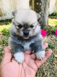 Título do anúncio: Os mais lindos filhotinhos de Lulu da pomerania já disponíveis