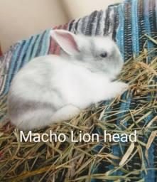 Título do anúncio: Lindo Mini Lion head