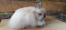 Título do anúncio: Mini coelhos Jersey wooly