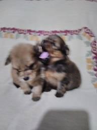 Título do anúncio: Vende-se filhotes de Lulu da Pomerânia