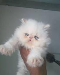 Gato persa , macho disponível à venda!!!