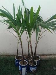 Palmeira veitchia