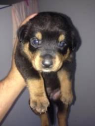 Vendo cachorro rotwaley puro chama zap 96678656
