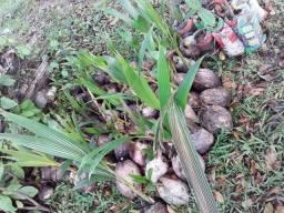 Venda de muda de coco
