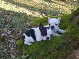 Bulldog Francês Lindos Filhotes ## Entregue em Foz do Iguaçu #