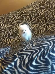 Spitz alemão branco pérola fêmea