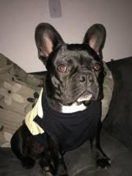 Procuro namorada Bulldog Francês