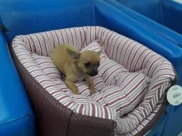 Filhote de Chihuahua-Kevin