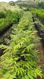 Mudas arvores nativas e frutíferas