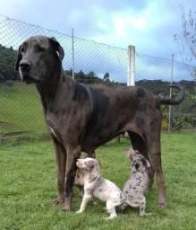 Búzios Canil Canaã-Dogue alemão