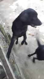 Vender 2 cachorros raça labrador