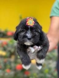 Filhotes lindos!!!Lhasa Apso Pedigree