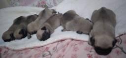 Pug com pedigree