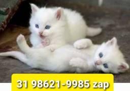 Título do anúncio: Gatil em BH Filhotes de Gatos Selecionados Angora Persa ou Siamês