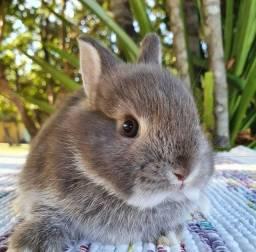 Coelhos anões e mini coelhos
