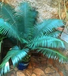 Coqueiro e palmeiras 100,00