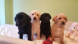 Título do anúncio: Labrador linhagem campea. *