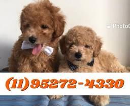Filhotes de Poodle Machos (Anuncio Fotos Reais), só aquiii