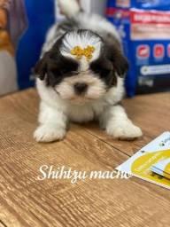 Título do anúncio: Shith-zu Machinho