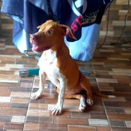 American Pitibull terrier Red Nose