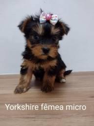 Doceis filhotes de Yorkshire terrier