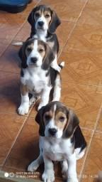 Título do anúncio: Beagles filhotes