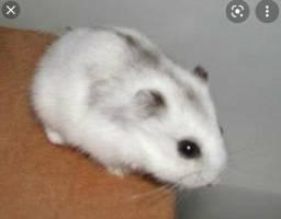 Doa-se Hamster Anão russo