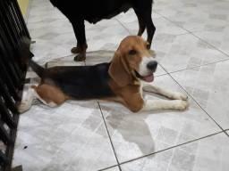 Filhotes de Beagle puros País com pedigree nascidos dia 13/07