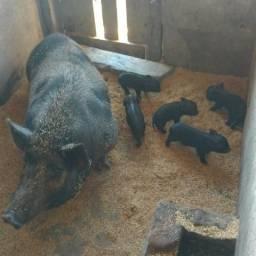 Vendo porcos anões Basset
