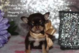 Chihuahua cores exóticas e padrão único da raça, adquira conosco (11)96091-3274