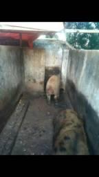 Estou vendendo uma porca de 90 kg