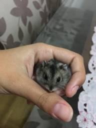 Doação de Filhote de Hamster Chinês