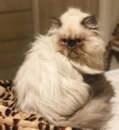 Gato persa himalaio